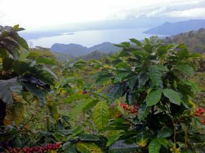 PashaCafe_Cafea_De_Specialitate_Honduras_2