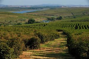 coffee plantation, Minas Gerais, Brazil